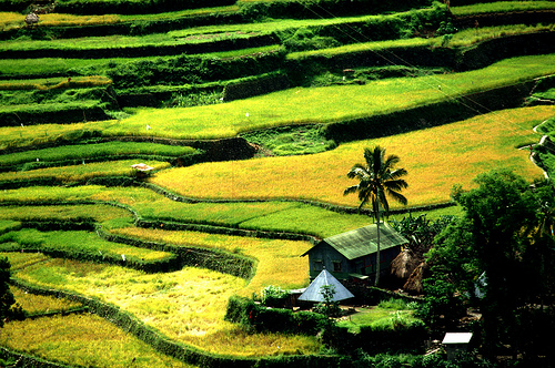 Ripening Rice on Banaue Rice Terraces (Photo courtesy by IRRI Images from Flickr.com)