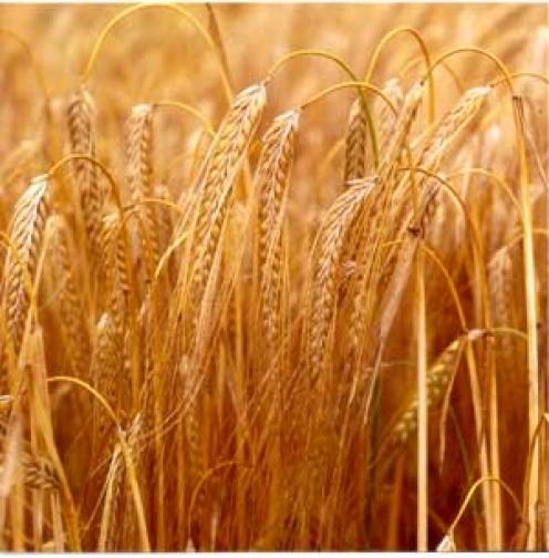Barley Grains ready to Harvest