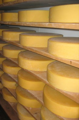 Cheese consists of the curds of clotted milk, from which the whey has been drained, decomposed by micro-organisms.