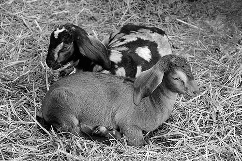 Dairy goats photo: Damon Green