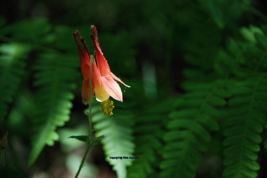 A wild Columbine glows along the trail to the creek.