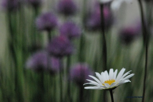 A daisy is backdropped by the flowers of chive plants in a garden.