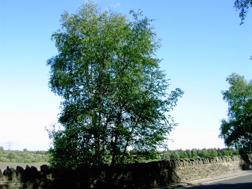 Silver birch brightens up urban areas. Photograph by D.A.L.