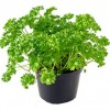 Growing Parsley for the Kitchen Garden