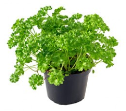 the parsley plant in a pot