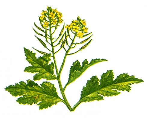 The mustard plant