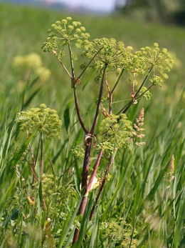 Angelica by Kristian Peters on wikimedia commons