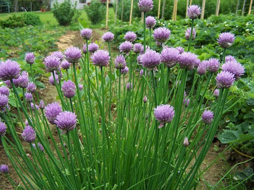 Chives by Jerzy Opiola on wikimedia commons
