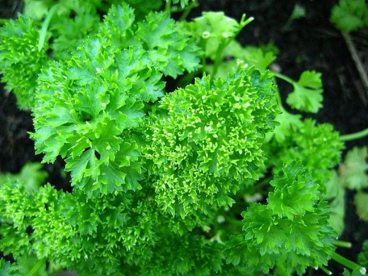 Parsley in public domain