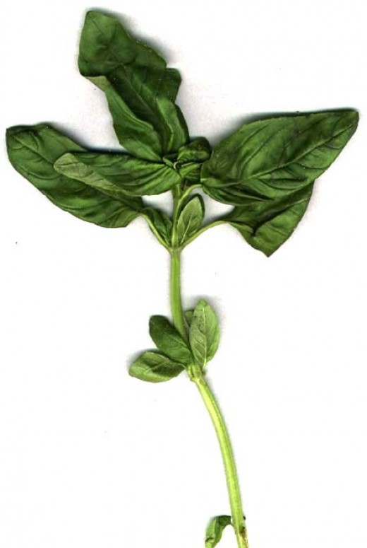 Basil is commonly used fresh in cooked recipes. It is generally added at the last moment, as cooking quickly destroys the flavour. The fresh herb can be kept for a short time in plastic bags in the refrigerator, or for a longer period in the freezer,