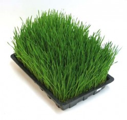 How Wheatgrass can improve your energy levels