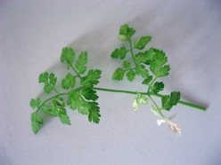 Chervil / Photo by E. A. Wright