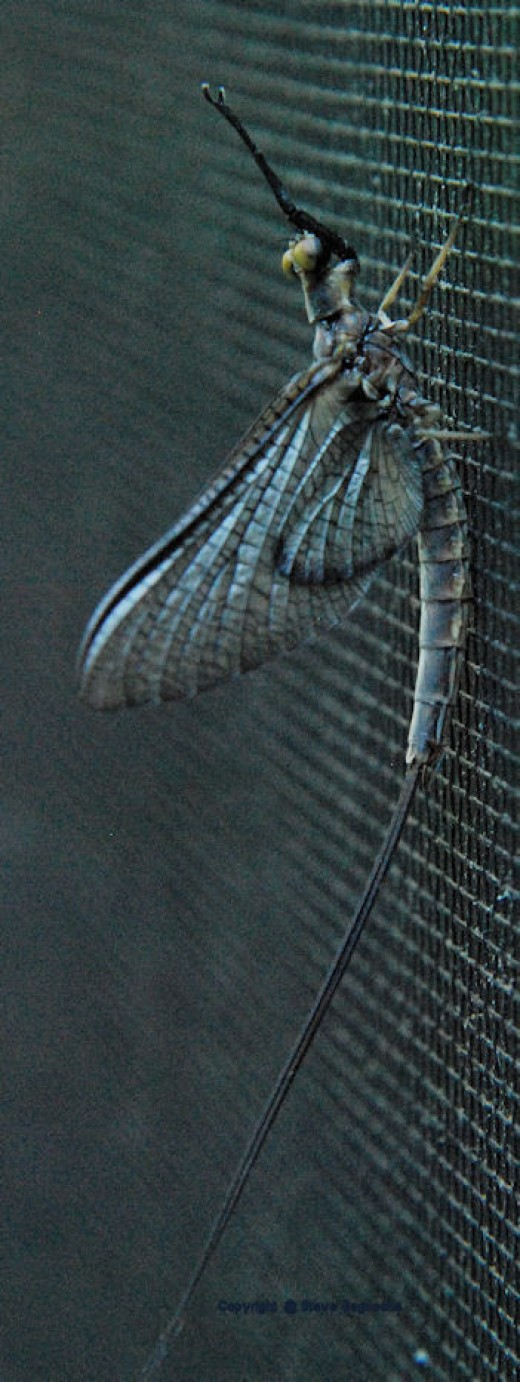 A mayfly clings to a screen this morning.