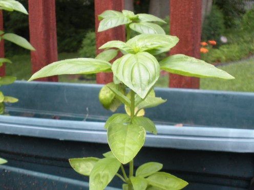 Basil, growing in my garden