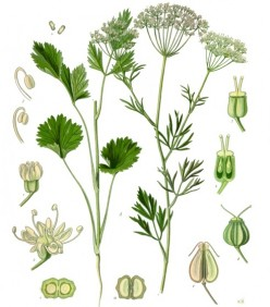 Anise Herb - A Great Spice