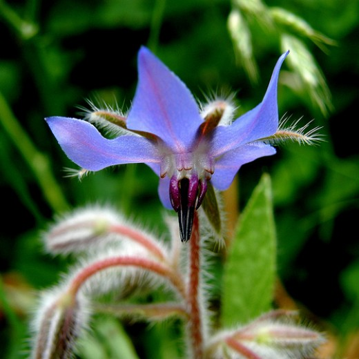 Borage Flower (Photo courtesy by OliBac from Flickr.com)