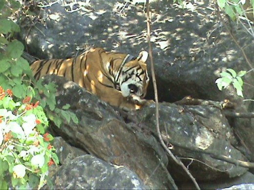 Tiger on its Kill