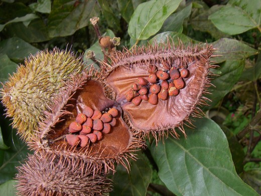 Annatto (Photo courtesy by Rinaldo W. from Flickr.com)