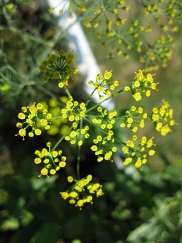 Flowering Dill (Photo courtesy by rayb777 from Flickr.com)