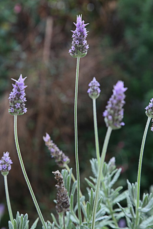 French Lavender (Photo courtesy by Keith Williamson from Flickr.com)