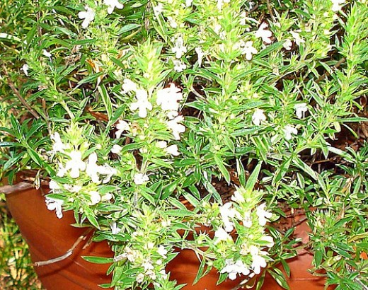 Summer Savory (Photo courtesy by cbertel from Flickr.com)