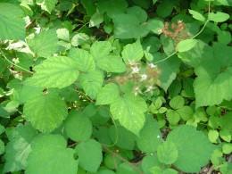 Wild raspberries found outdoors