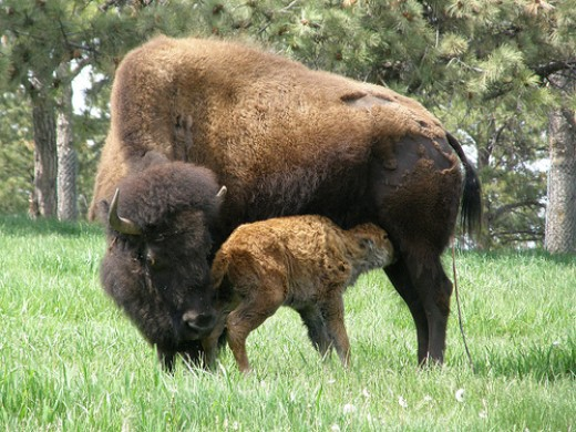 American Buffalo Birth photo: jimbowen0306 @flickr