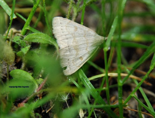 A forage leaf looper was flitting about despite the rain. It settled momentarily in the grass.
