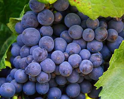 Stunning Pinot gris grapes ripen on the vine.