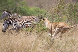 In nature, some animals live by killing and devouring others. Typically, it is the old, weak and infirm that fall pray to the predators appetite.