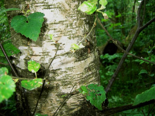 Bark of the young silver birch. Photograph by D.A.L.