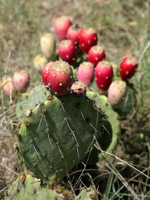 A mature prickly pear cactus with developed and ripening fruits.