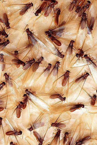 Swarming Formosan Termites, Alates (Breeders)
