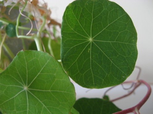 Nasturtium leaves are edible / Photo by E. A. Wright