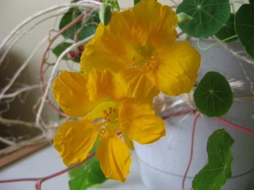 Nasturtium flowers come in shades ranging from bright yellow to deep orange / Photo by E. A. Wright