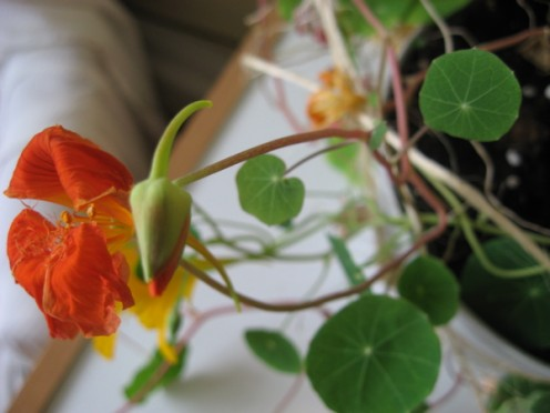 A nasturtium bud / Photo by E. A. Wright