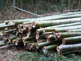 Bamboo, used in flooring and furniture, is a grass, not a wood.  Photo in the Public Domain, courtesy of Wikimedia Commons, http://commons.wikimedia.org/wiki/File:Cut_Bamboo.jpg