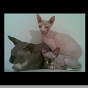 Sphynx Cats profile image