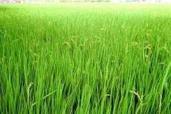 Paddy Cultivation - The Kerala Style