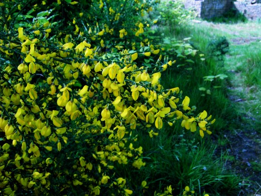 The bright yellow flowers of broom. Photograph by D.A.L.