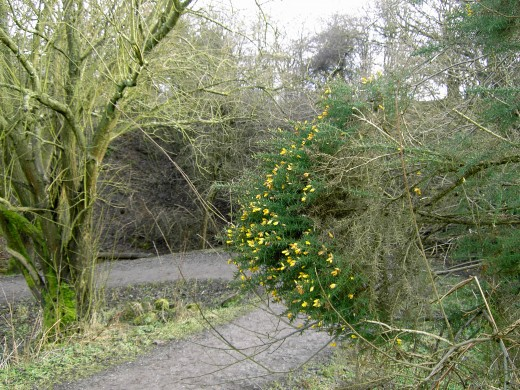 Gorse in flower. This photograph was taken in February. Photograph by D.A.L.