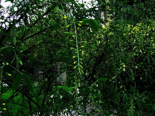 The pendulous sprays of the laburnum in bud. Photograph by D.A.L.