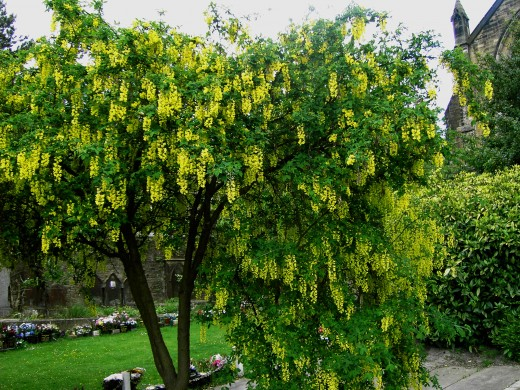 The golden rain tree, the name aptly describes the laburnum in flower. Photograph by D.A.L
