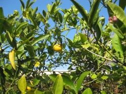 Meyer lemons in the California winter / Photo by E. A. Wright