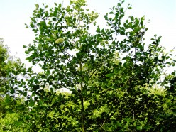 The Elegant Alder Tree