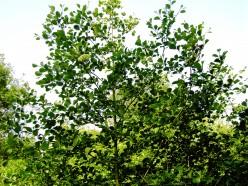 The Elegant Alder Tree