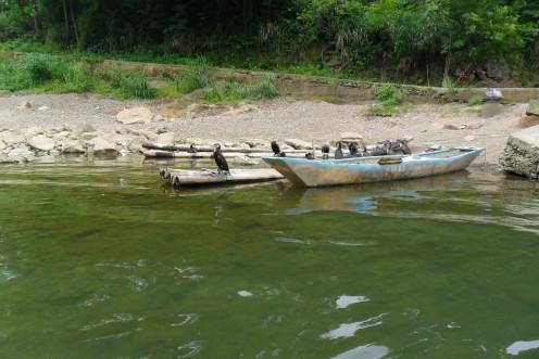 Cormorants beside the river