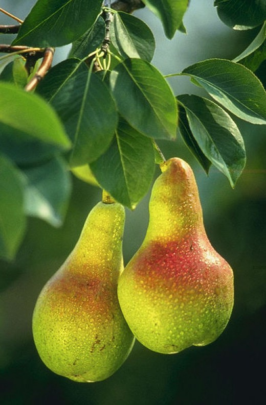 Natural real pears pic