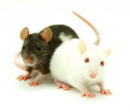 """Rats on """"capsaicin"""" gained 8% less when fed a high-fat diet!"""