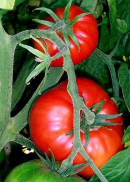 Tomatoes on bush